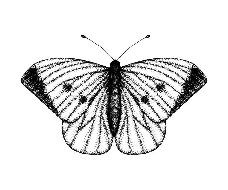 Ilustra??o preto e branco do vetor de uma borboleta Esbo?o tirado m?o do inseto Desenho gr?fico detalhado do marrom da parede no  ilustração royalty free