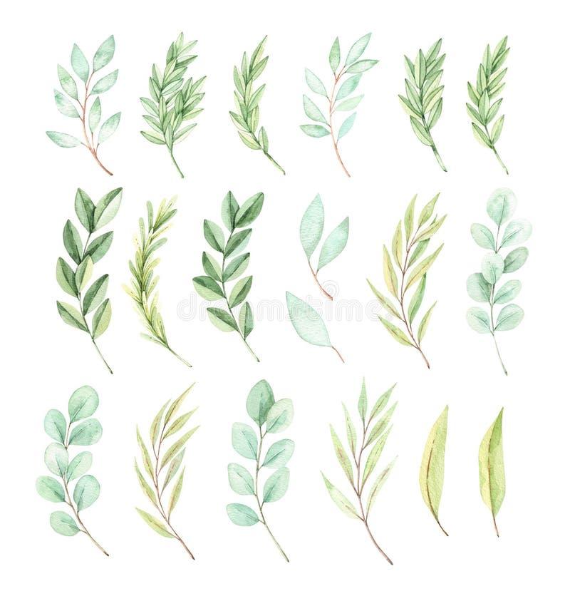 Ilustra??o tirada m?o da aguarela Eucalipto bot?nico dos elementos da mola, ramos do abeto, folhas greenery Mola floral ilustração stock