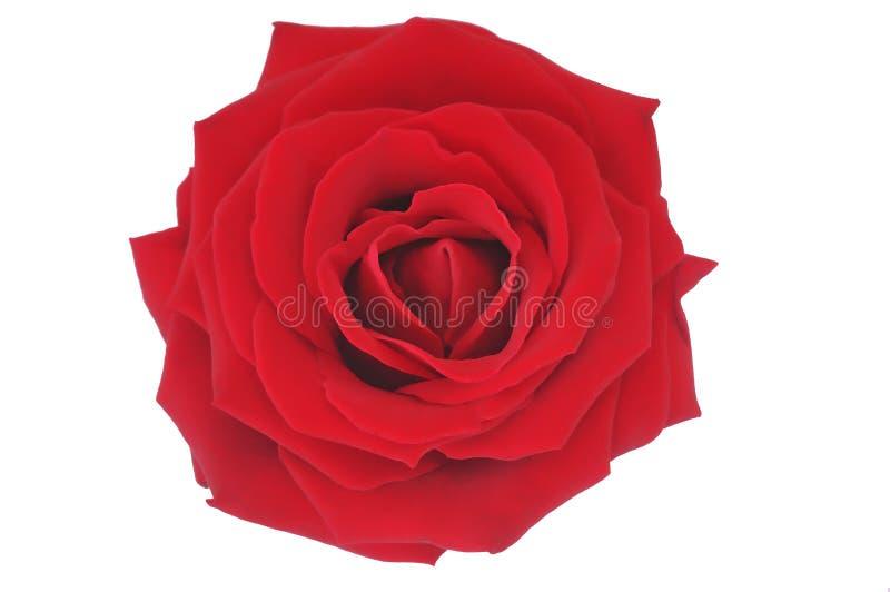 Ilustración color de rosa del rojo agradable sobre blanco imagen de archivo libre de regalías