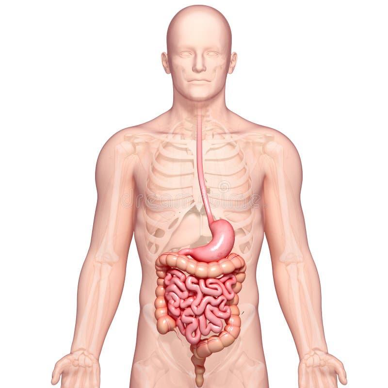 Ejemplo de la anatomía del estómago humano con el cuerpo ilustración del vector