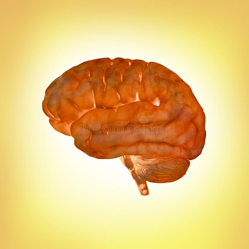 Ilustración del cerebro humano stock de ilustración