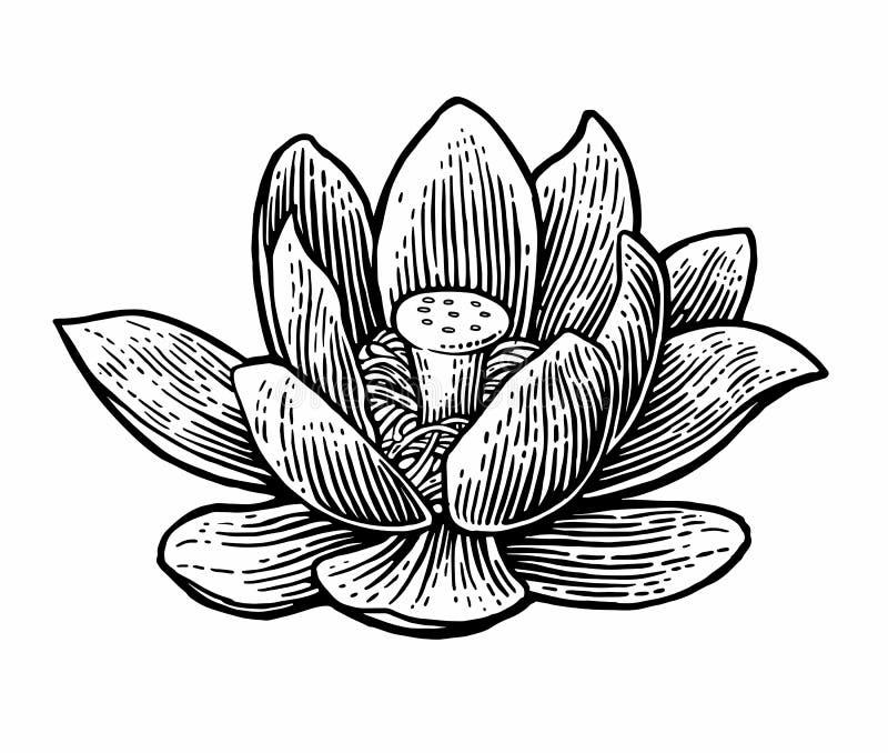 Ilustración del zen de la flor de loto Vector el ejemplo negro del vintage del grabado en el fondo blanco ilustración del vector