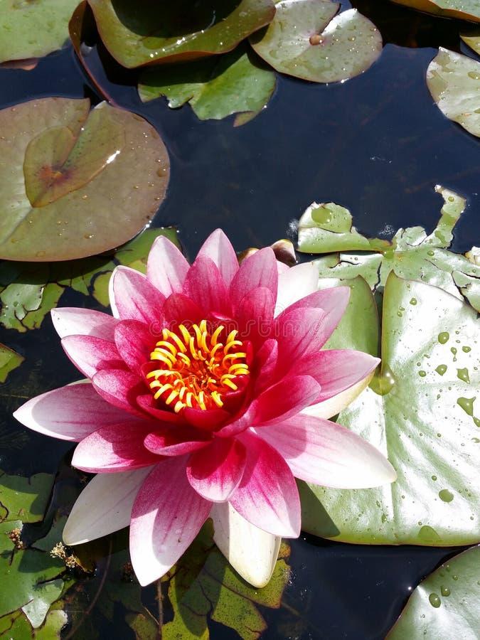 Ilustración del zen de la flor de loto fotografía de archivo libre de regalías