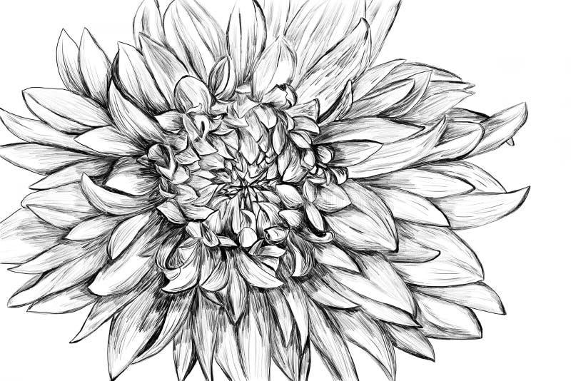 Ilustración drenada mano monocromática de la flor ilustración del vector