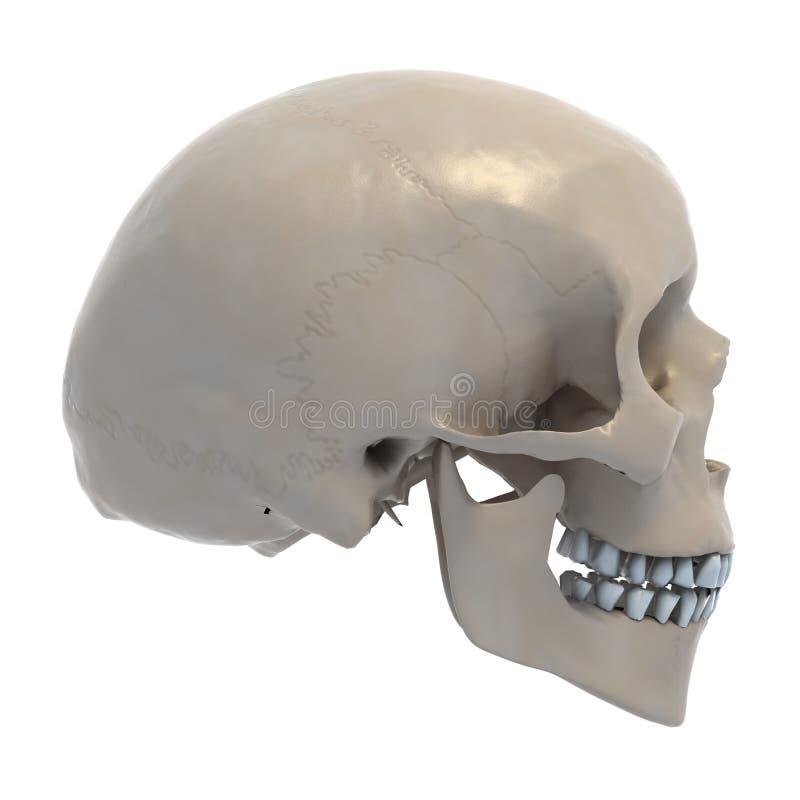 Ilustración humana del cráneo 3d stock de ilustración