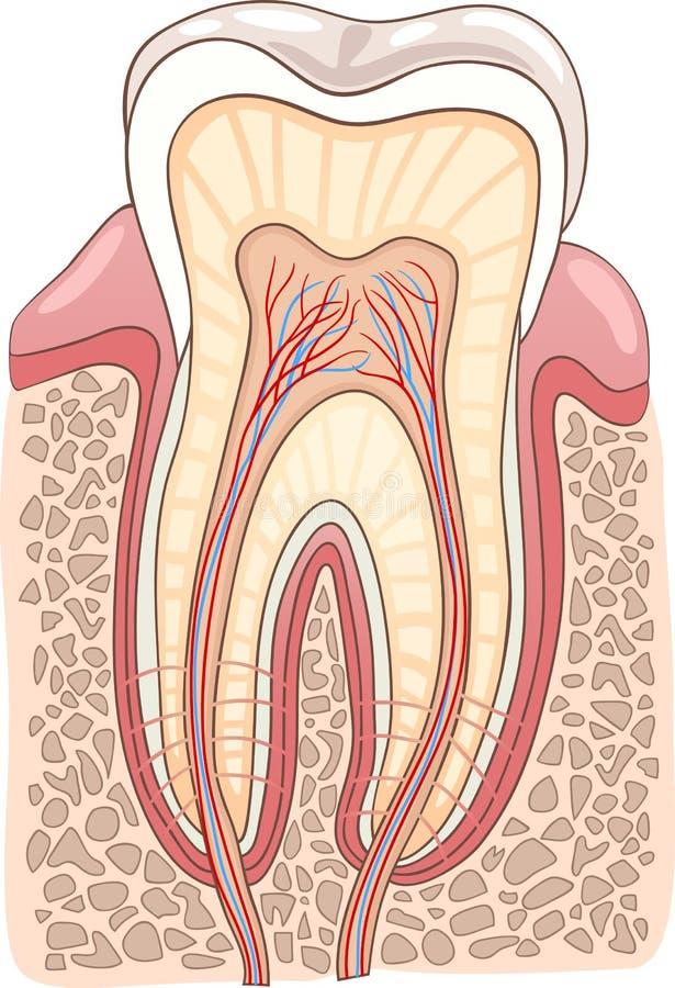 Ilustración médica de la sección del diente ilustración del vector