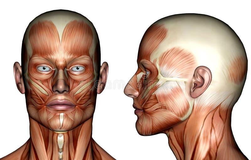 Ilustración - músculos de la cara ilustración del vector