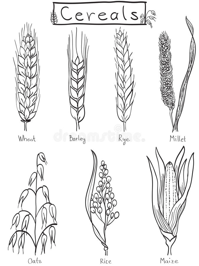 Ilustración A Mano De Los Cereales Fotografía de archivo libre de regalías