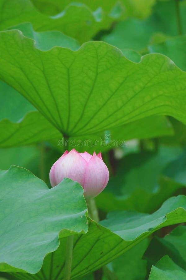 Ilustraci?n del zen de la flor de loto fotos de archivo libres de regalías