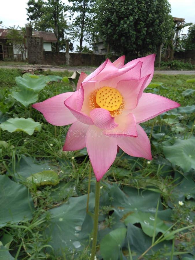 Ilustraci?n del zen de la flor de loto foto de archivo libre de regalías