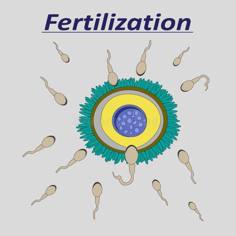 Ilustracja żeńska jajeczna nawożenie sperma royalty ilustracja