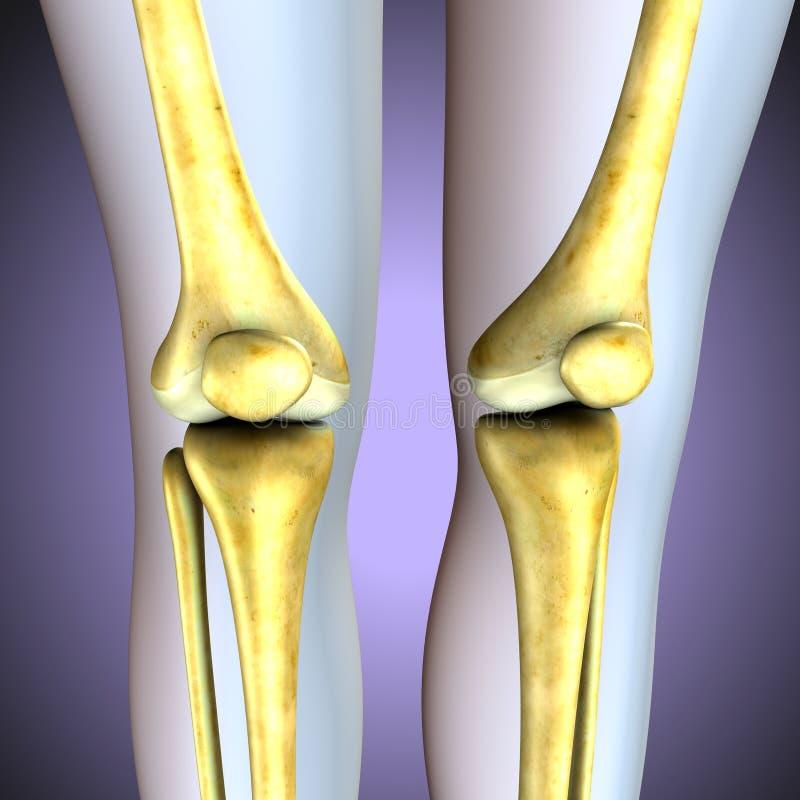 ilustracja 3 d ludzkich kolanowych kości kośćcowy system royalty ilustracja