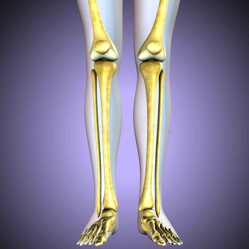 ilustracja 3 d ludzkich kolanowych kości kośćcowy system ilustracja wektor