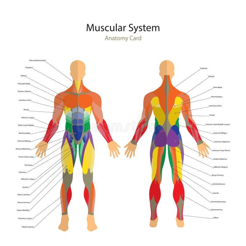 Ilustracja ludzcy mięśnie Ćwiczenie i mięśnia przewdonik Gym szkolenie Frontowy i tylni widok Mięśnia mężczyzna anatomia ilustracja wektor
