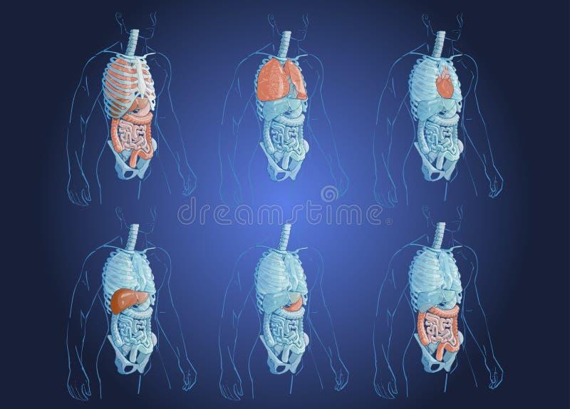 Ilustracja ludzcy organy ilustracji