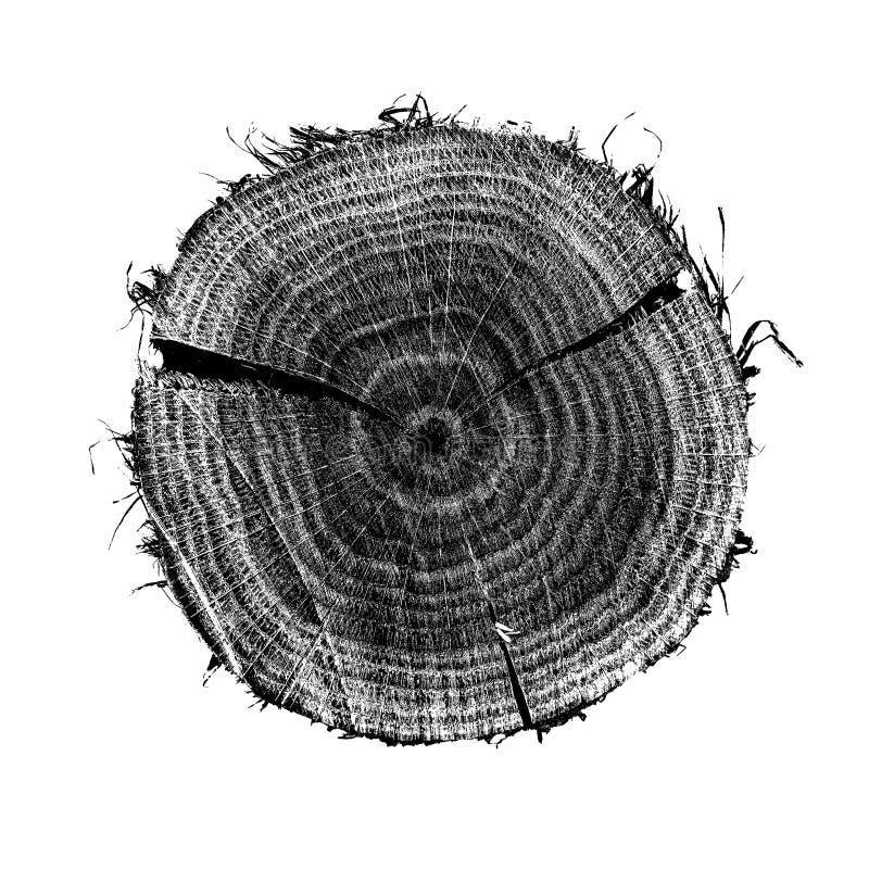 Ilustracja przekrój poprzeczny dębowy drzewo, próbka na białym tle Roczni pierścionki na nawierzchniowej i szczegółowej teksturze fotografia royalty free
