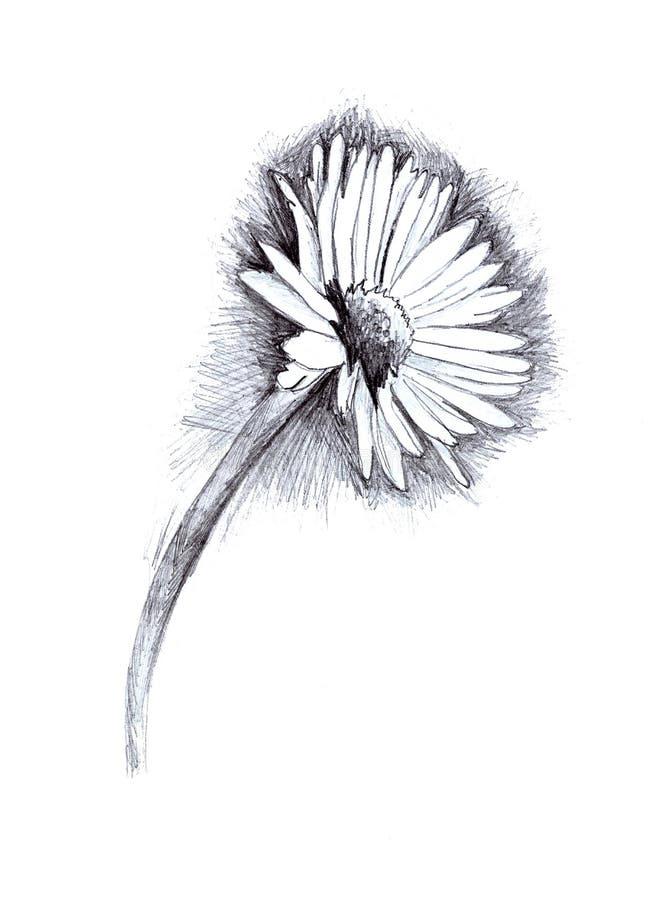 ilustracja stokrotka ołówek ilustracja wektor