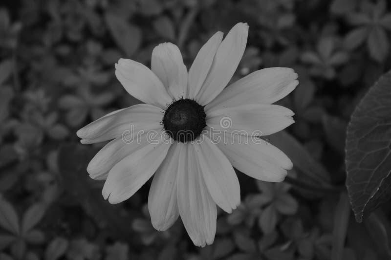 Ilustracyjni kwiaty rudbeckia hirta są czarny i biały fotografia royalty free