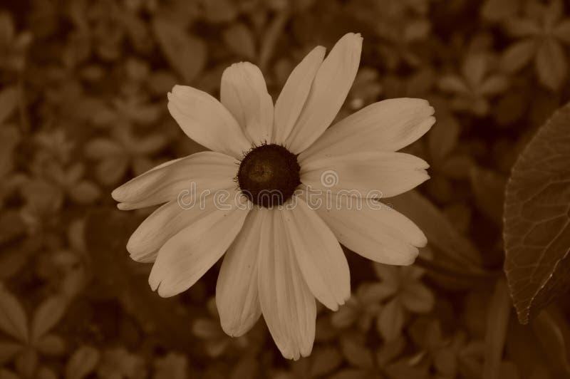 Ilustracyjni kwiaty rudbeckia hirta są sepiowi obraz royalty free