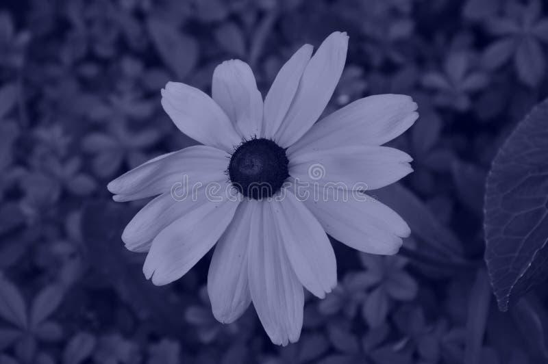 Ilustracyjni kwiaty rudbeckia hirta są yanide typ fotografia stock