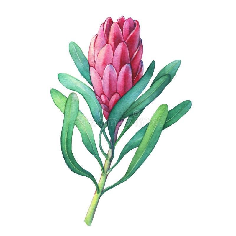 Ilustration d'un Protea de rose fleurit et des plantes tropicales illustration stock