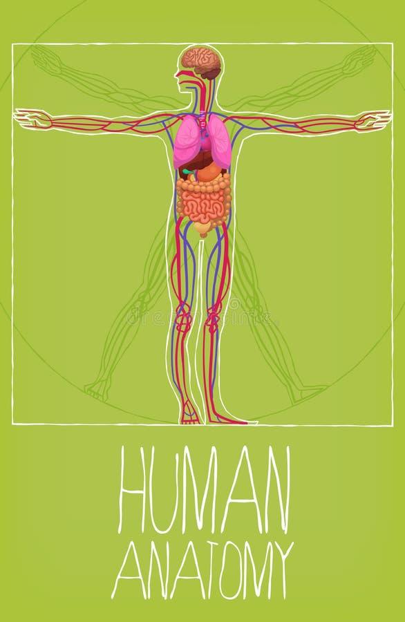 Ilustration De La Anatomía De Los órganos Del Cuerpo Humano ...