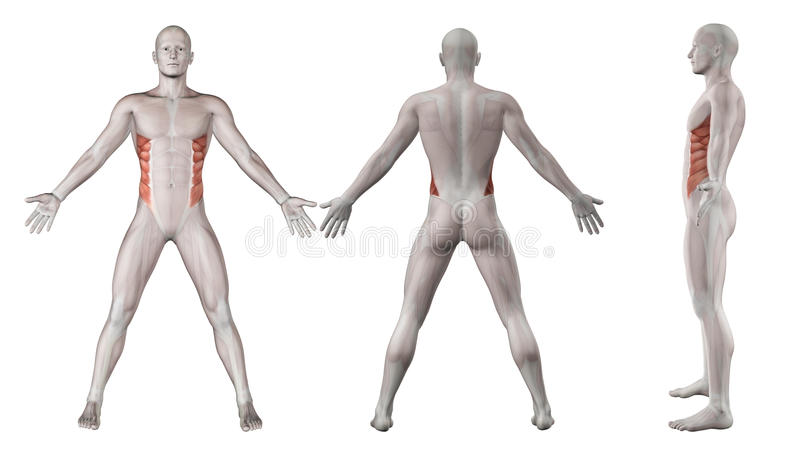 Imágenes 3D Que Muestran La Figura Masculina Con Oblicuo Externo ...