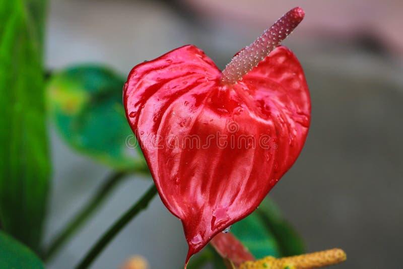 Imágenes hermosas de la acción de la flor del Anthurium fotos de archivo