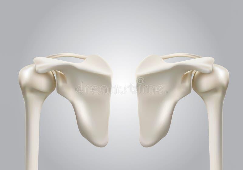 Imágenes médicas exactas 3D de los huesos de hombro humanos stock de ilustración
