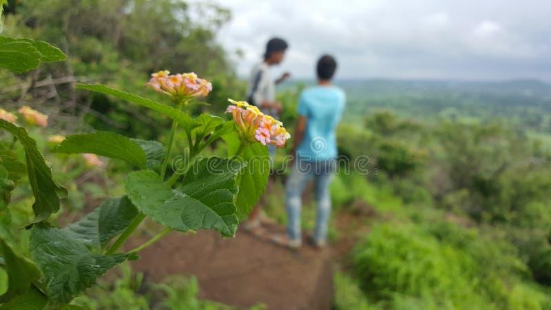 Imágenes naturales de la flor india del masi de Barah imagenes de archivo