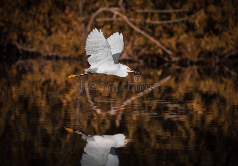 Im Flug über wasser- weißem Reiher u. Reflexion stockbild