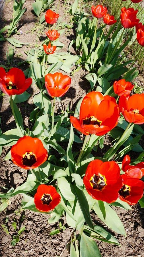 Im Frühjahr blühen, helle rote Tulpen im Garten auf dem Blumenbeet lizenzfreies stockfoto
