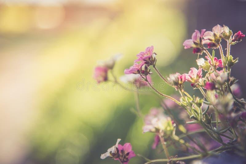 Im Frühjahr im Garten arbeiten: Nette weiße und rosa Blumen in einem blauen Topf stockbilder