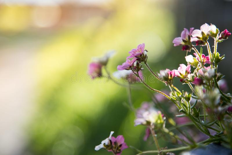 Im Frühjahr im Garten arbeiten: Nette weiße und rosa Blumen in einem blauen Topf stockbild