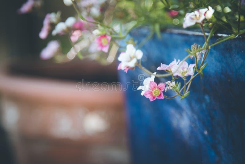 Im Frühjahr im Garten arbeiten: Nette weiße und rosa Blumen in einem blauen Topf lizenzfreie stockfotografie