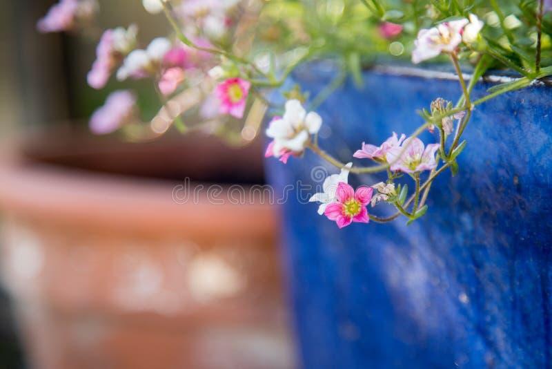 Im Frühjahr im Garten arbeiten: Nette weiße und rosa Blumen in einem blauen Topf lizenzfreie stockfotos