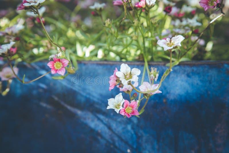 Im Frühjahr im Garten arbeiten: Nette weiße und rosa Blumen in einem blauen Topf lizenzfreies stockfoto
