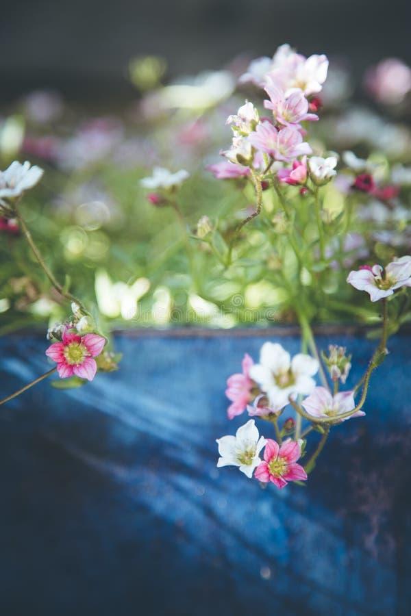 Im Frühjahr im Garten arbeiten: Nette weiße und rosa Blumen in einem blauen Topf lizenzfreies stockbild