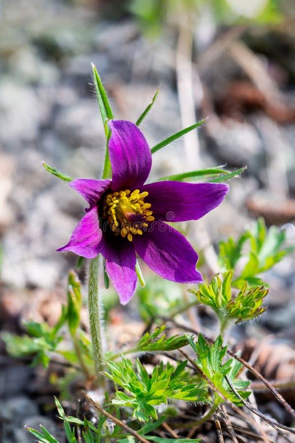 Im Frühjahr gemeiner Pulsatilla Anemone Blume des Pulsatilla stockfoto