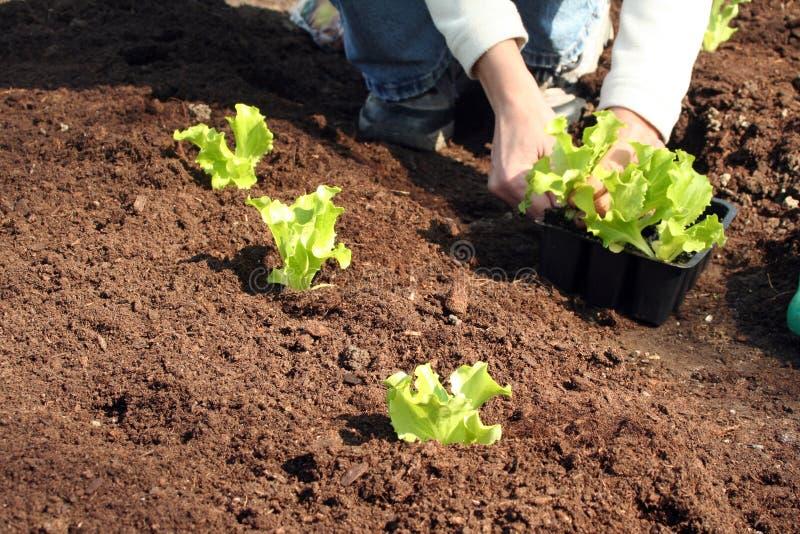 Im frischen Boden zu pflanzen Kopfsalat, stockfoto