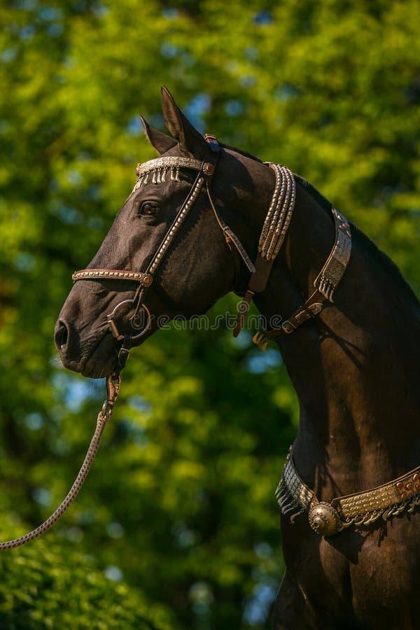 Im Profilporträt des schönen jungen dunkelbraunen Hengstes Pferds Akhal Teke lizenzfreies stockbild