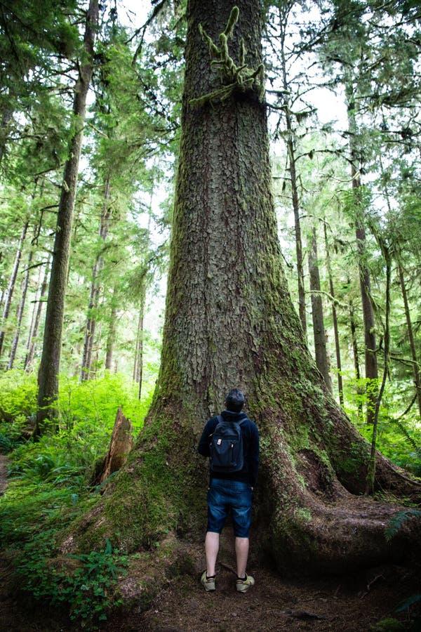 Im Regenwald: Hoh- und Quinault-Waldlandschaften: Mann unter Ehrfurcht unter den höchsten Douglas-Toren der Welt stockfotografie