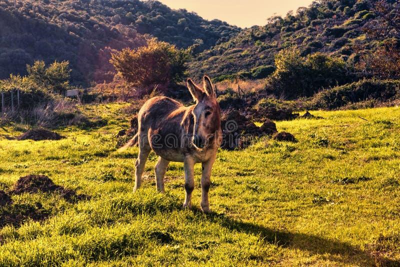 Im Tal steht ein Esel bei Sonnenuntergang still stockfoto