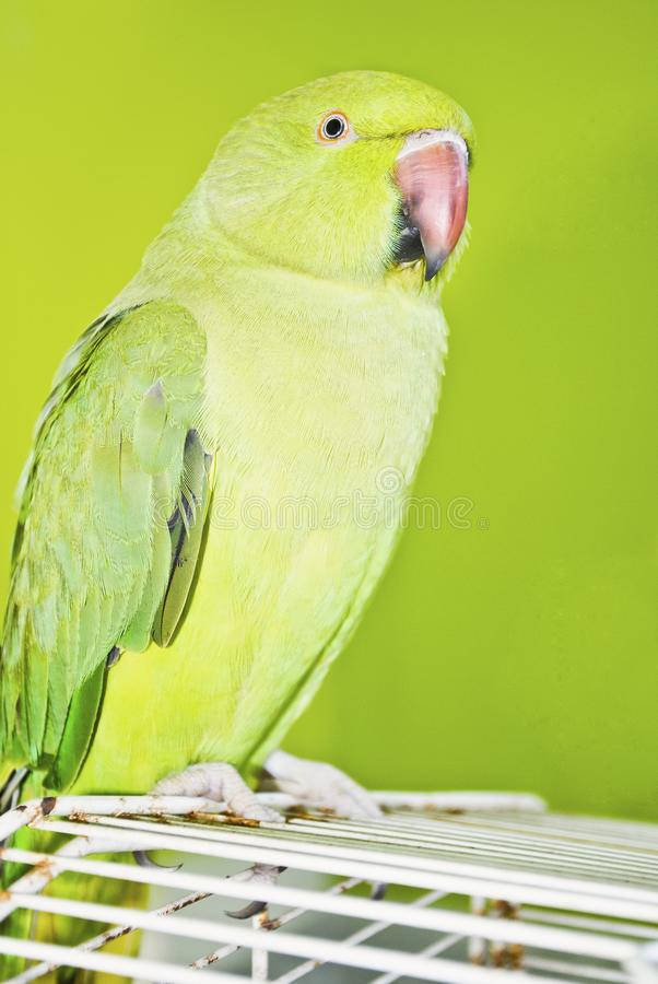 Im Vordergrund kontrastierte ein hellgrüner Papagei durch eine dunkelgrüne Wand im Hintergrund stockbild