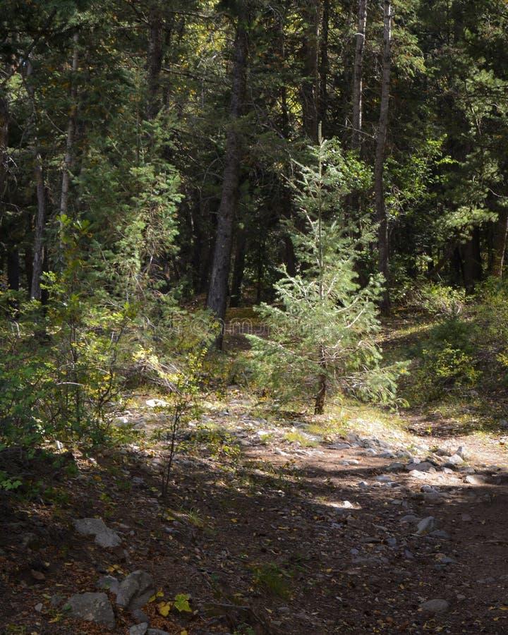 Im Wald eine kleine Kiefer, die im Licht wächst lizenzfreie stockfotos