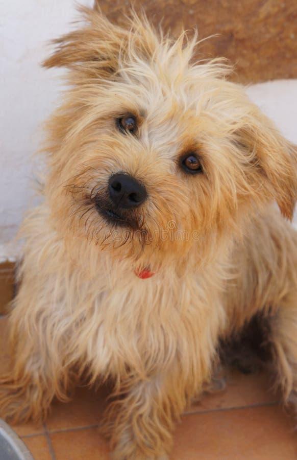 Imaal狗被混合的品种狗幽谷  免版税图库摄影