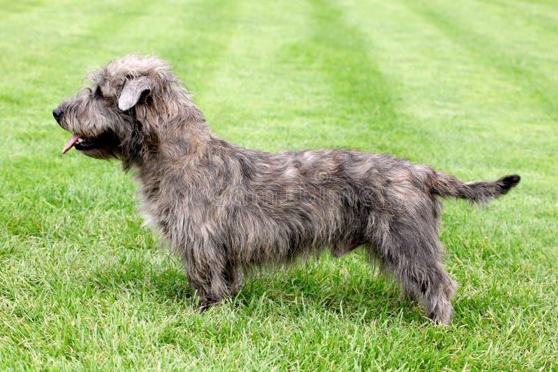 Imaal Terrier op een groen grasgazon stock afbeeldingen