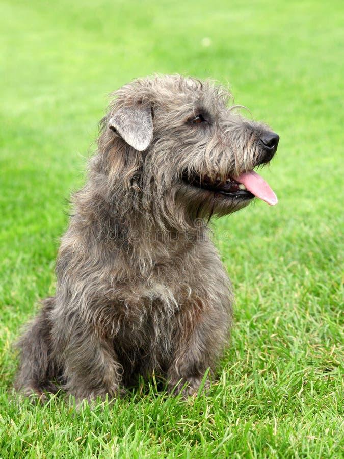 Imaal Terrier op een groen grasgazon royalty-vrije stock foto