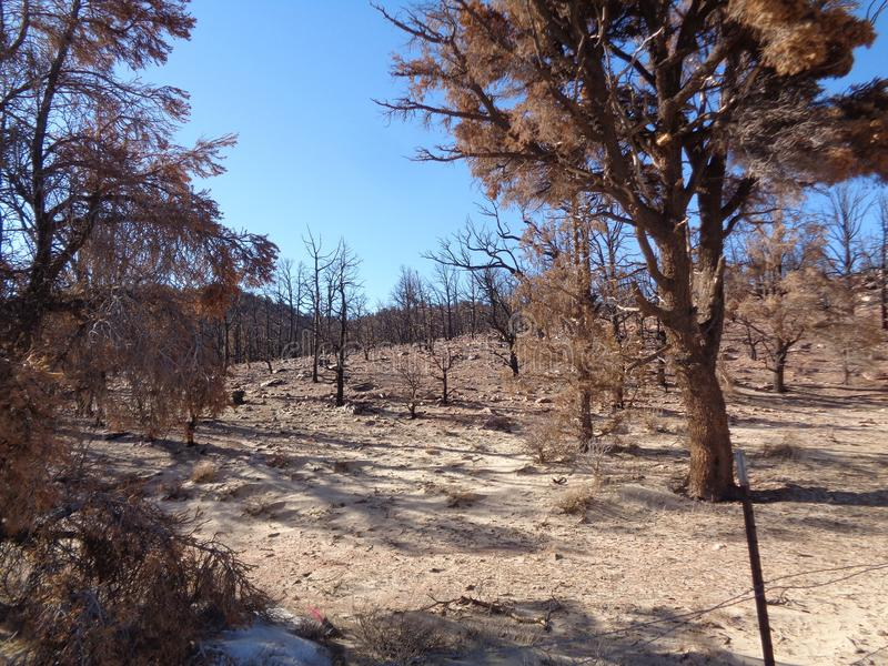 Burned Juniper Forest in the Mountains - Aftermath of Wild Fire 2. This is the image of the aftermath of a fierce wildfire that has destroyed a juniper forest in stock images