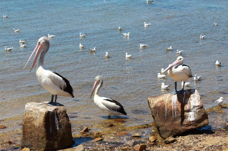 Australian Pelicans Relaxing in the Sunlight by the Sea. Image of Australian pelicans standing and relaxing by the sea at Stony Point in Crib Point, Western Port